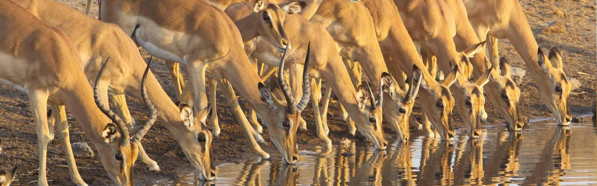 Waterhole in Namibia's Etosha National Park with buck drinking