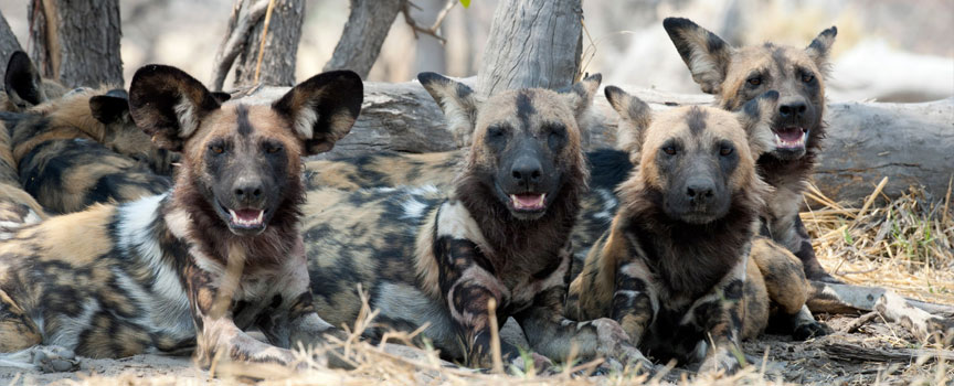 Chobe National Park african wild dog pack