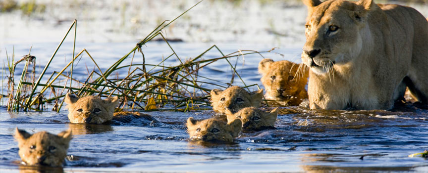 Chobe National Park pride of lions in the river