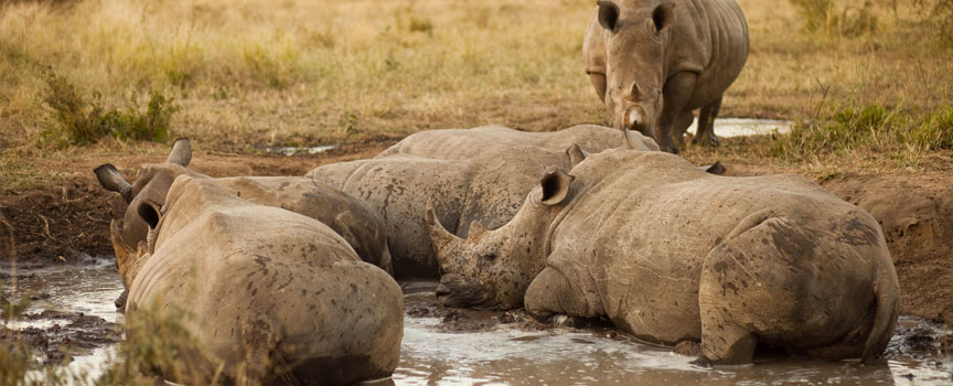 Chobe National Park rhinos in a mud pit