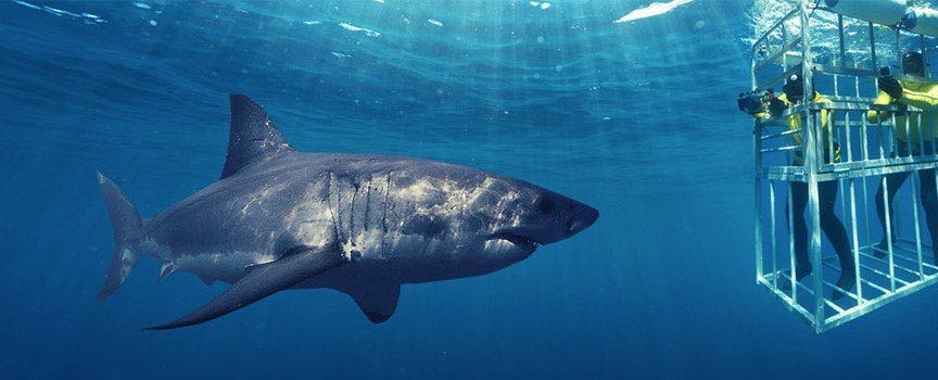 I want to cage dive with Great White Sharks in South Africa