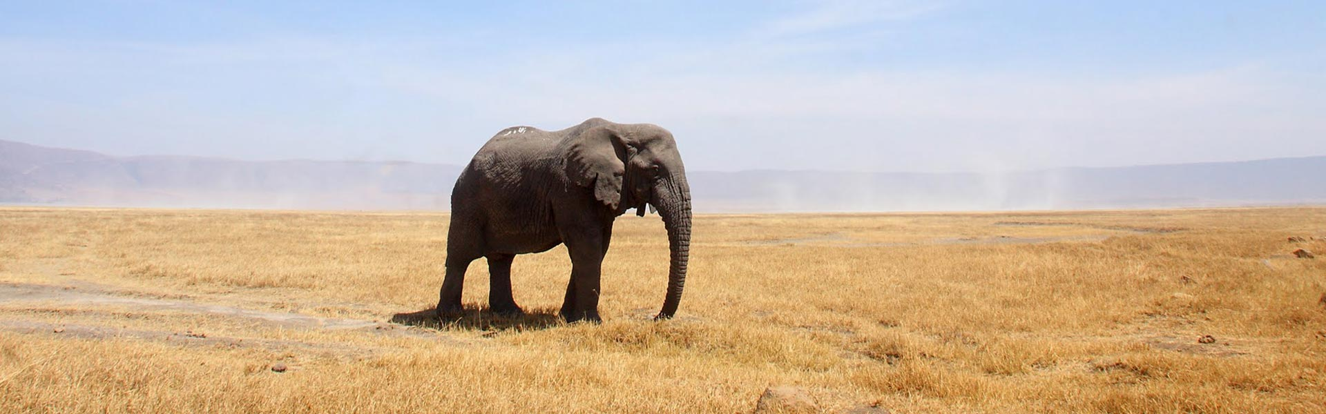 Elephant bull standing in the Ngorongoro Crater of Tanzania in Africa