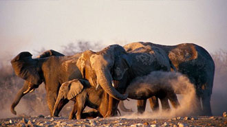 Ongava Game Reserve elephant herds of Namibia