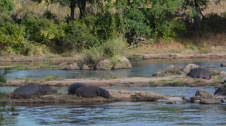 Jongomero river hippos on the waters edge