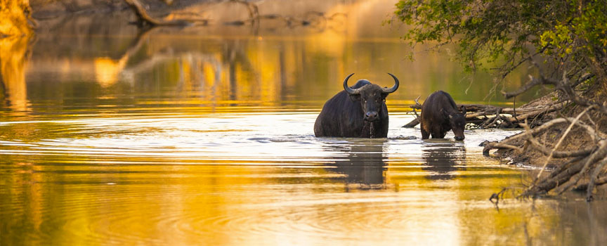 Kruger National Park buffalo in the river