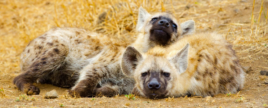 Kruger National Park hyenas relaxing