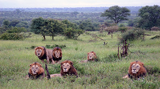 South Africa Kruger National Park pride of male lions