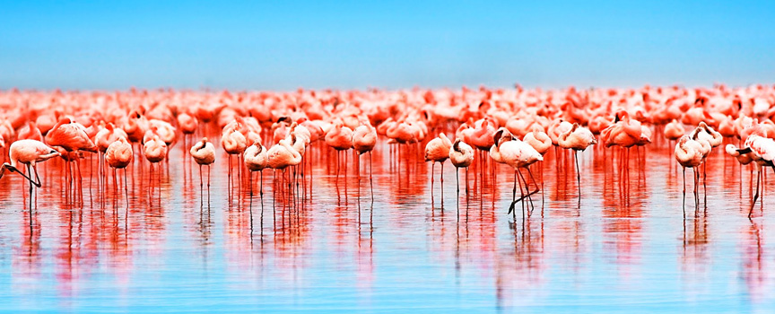 Lake Nakuru National Park flock of flamingos at waters edge