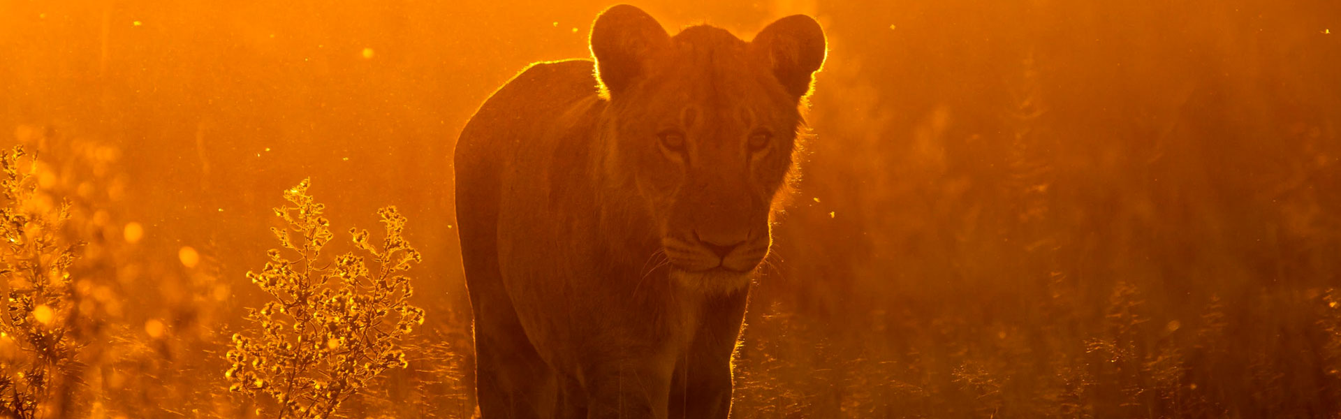 Southern Tanzania lioness walking in the sunset