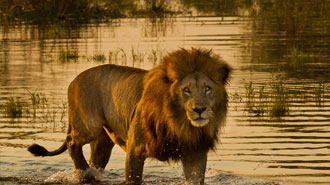 Moremi Game Reserve male lion crossing the river