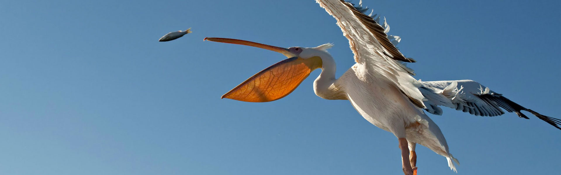 Namibian pelican in flight catching a fish