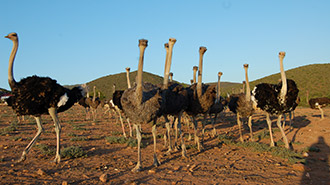 Western Cape ostriches in Oudtshoorn South Africa