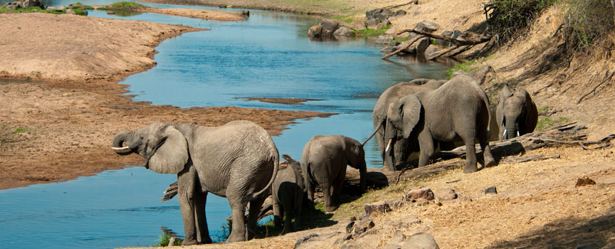 Ruaha National Park elephants walking down to the river to drink