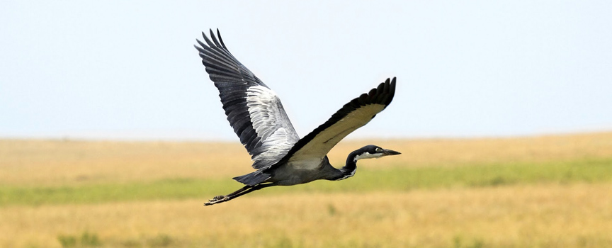 Ruaha National Park heron in flight