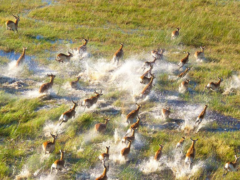 Aerial view of wild animals in the Okavango Delto of Botswana