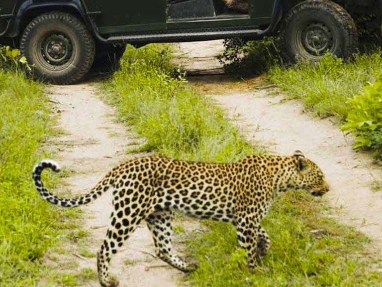Kruger National Park Leopard on a safari crossing