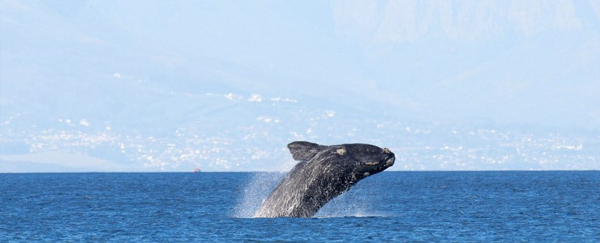 the Garden Route whale breaching in hermanus