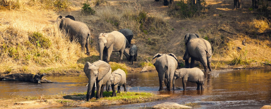The Serengeti elephants at the watering hole