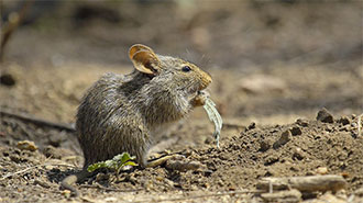 The Serengeti field mouse eating
