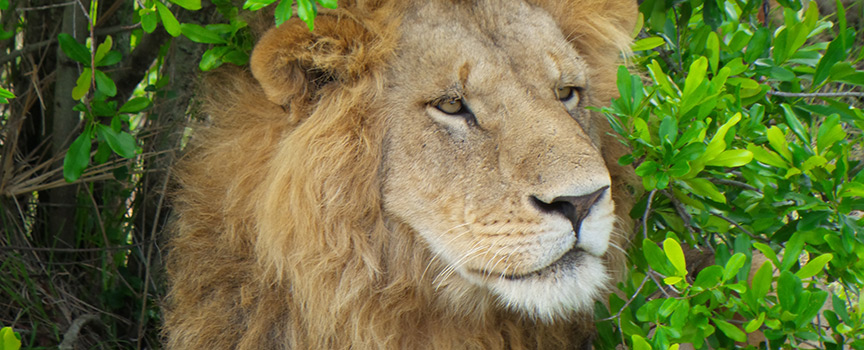 Tipilikwani Mara Camp wildlife lion