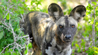 Tanzania wild dog in the Selous Game Reserve